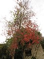 Carrollton New Orleans Backyard Red Maple.jpg