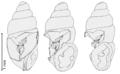 Carychium minimum (with plicae shown).png
