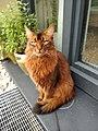 Cat Somali.jpg