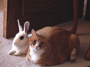 http://upload.wikimedia.org/wikipedia/commons/thumb/e/e9/Cat_and_rabbit_sitting_together.jpg/300px-Cat_and_rabbit_sitting_together.jpg