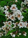 Catalpa bignoioides 002