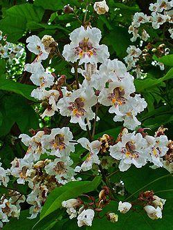 Catalpa Bignonioides Wikispecies
