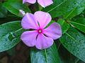 Catharanthus roseus(L.)G.Don. - Flickr - lalithamba.jpg