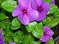 Catharanthus roseus - Private Garden in Israel.jpg