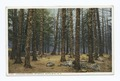 Cathedral Woods, Intervale, White Mountains, N. H (NYPL b12647398-74252).tiff
