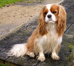 Cavalier King Charles de couleur blenheim