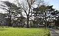 Cedro del Libano - Parco Massari (Ferrara) 000.jpg