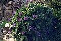 Centaurea montana 2b.jpg