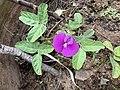 Centrosema rotundifolia 5758.jpg