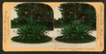 Century Plant, 25 years old, Washington Park, Chicago, Ill., U.S.A, from Robert N. Dennis collection of stereoscopic views.png