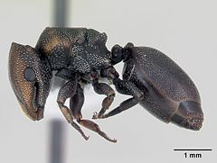 Cephalotes angustus casent0173660 profile 1.jpg
