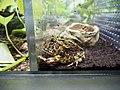 Ceratophrys ornata, Sunshine Aquarium 01.jpg