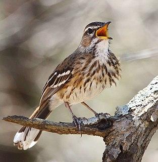 White-browed scrub robin species of bird