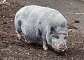Cerdo Turopolje, Tierpark Hellabrunn, Múnich, Alemania, 2012-06-17, DD 04.JPG