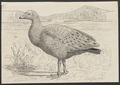 Cereopsis novae-hollandiae - 1864-1915 - Print - Iconographia Zoologica - Special Collections University of Amsterdam - UBA01 IZA1000152.tif