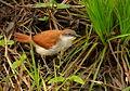 Certhiaxis cinnamomea (Rastrojero barbiamarillo) (14596824602).jpg