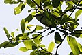 Cerulean Warbler (male) Smith Oaks High Island TX 2018-04-17 14-47-59 (41229819074).jpg