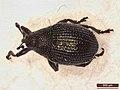 Ceutorhynchus contractus (39878824985).jpg