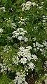 Chaerophyllum temulum inflorescence (30).jpg