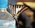 Chain Swordtail. Graphium aristeus parmatus. female. Papilionidae (48710163988).jpg
