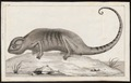 Chamaeleo vulgaris - 1700-1880 - Print - Iconographia Zoologica - Special Collections University of Amsterdam - UBA01 IZ12300015.tif