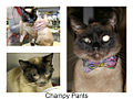 Champy Pants The Blind Siamese Kitty.jpg