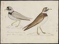 Charadrius hiaticula - 1743-1817 - Print - Iconographia Zoologica - Special Collections University of Amsterdam - UBA01 IZ17200221.tif