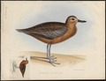 Charadrius obscurus - 1845-1848 - Print - Iconographia Zoologica - Special Collections University of Amsterdam - UBA01 IZ17200199.tif