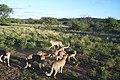 Cheetah Conservation Fund (5832925159).jpg
