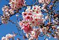 Cherry blossoms Lake Balboa (20140330-0345).JPG