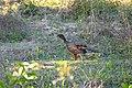 Chestnut-bellied Guan (Penelope ochrogaster) (28714490054).jpg