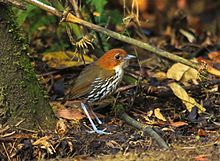 Chestnut-crowned Antpitta, Rio Blanco, Colombia (5746788680).jpg