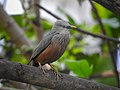 Chestnut-tailed starling 09.jpg