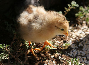 Down feather - Like many precocial hatchlings, domestic chickens are already covered with a downy coat of feathers when they hatch.