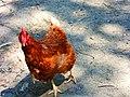 Chicken - 7713935748.jpg