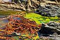 Chile - Pichilemu 15 - cochayuyo seaweed (6821868164).jpg