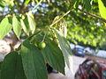 Chinese Cherry - തണൽ മരം - 006.JPG