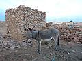 Chinguetti-Donkey.jpg