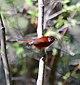 Chipe Rojo, Red Warbler, Ergaticus ruber (12421236683).jpg