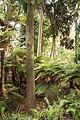 Christchurch Botanic Gardens, New Zealand section, matai trees 2016-02-04.jpg