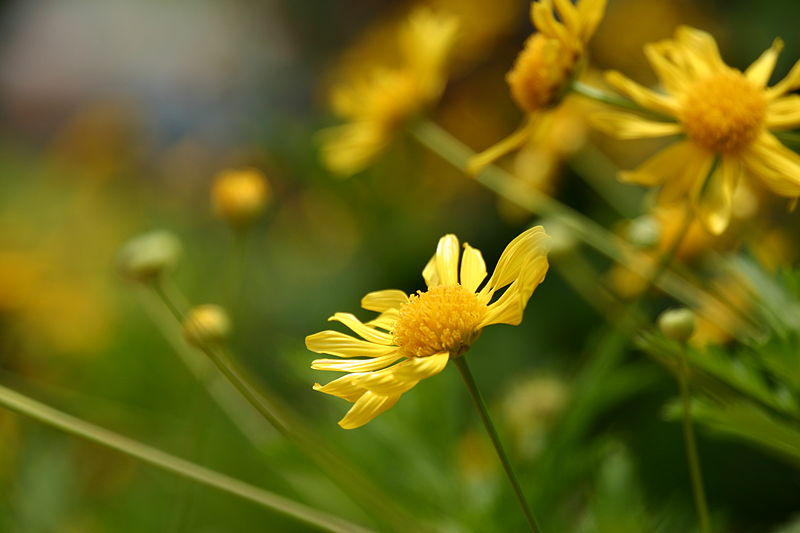 File:Chrysanthemum01.jpg