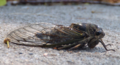 Cicada at rest on pavement (9384851021).png