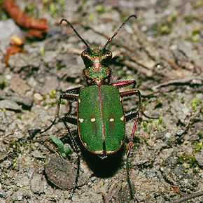 Description de l'image Cicindela.campestris.1809.jpg.