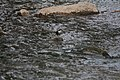 Cinclus cinclus, Kanjon reke Jerme, Srbija (246).jpg