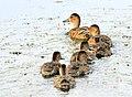 Cinnamon teal brood Seedskadee National Wildlife Refuge 01 (15024290282).jpg