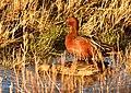 Cinnamon teal on Seedskadee National Wildlife Refuge (28088440888).jpg