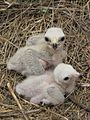 Circus hudsonius chicks.jpg