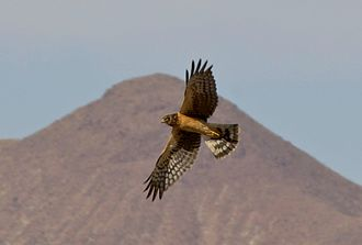 Northern harrier - Juvenile flying at Bosque del Apache National Wildlife Refuge, USA