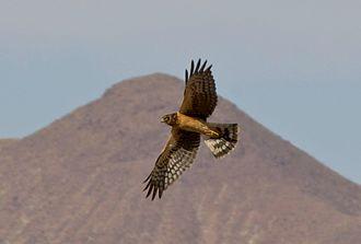 Northern harrier - Juvenile flying at Bosque del Apache National Wildlife Refuge, USA