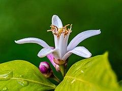 Citrus flower 2019-06-13 09-54-06 (C)-PSD.jpg